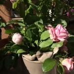 Rosensträuse