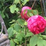 engl Rose