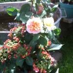 Rosen , Hortensien