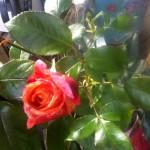 Malerrose