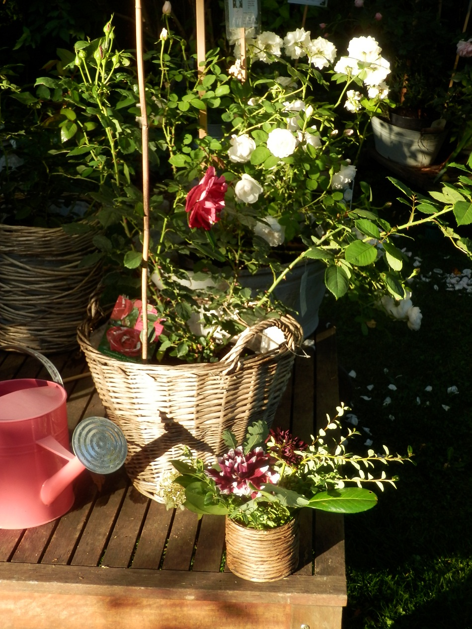 knospige bl hende rosen f r den herbstlichen garten. Black Bedroom Furniture Sets. Home Design Ideas