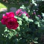 Moin Moin  J.W.v.Goethe und Baronesse- diese Rosen blühen hier!