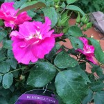 kleine Rosen in neuen Farben: bluebell