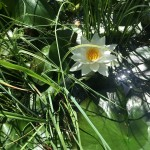Seerosen in Wannen u. im Teich