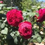 Rose Gospel